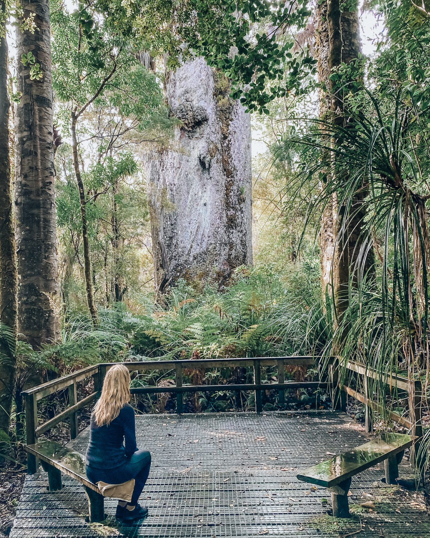 Kauri trees - Waipou Forest
