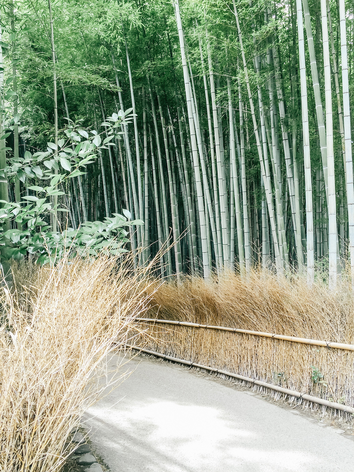 See Bamboo Grove in Japan