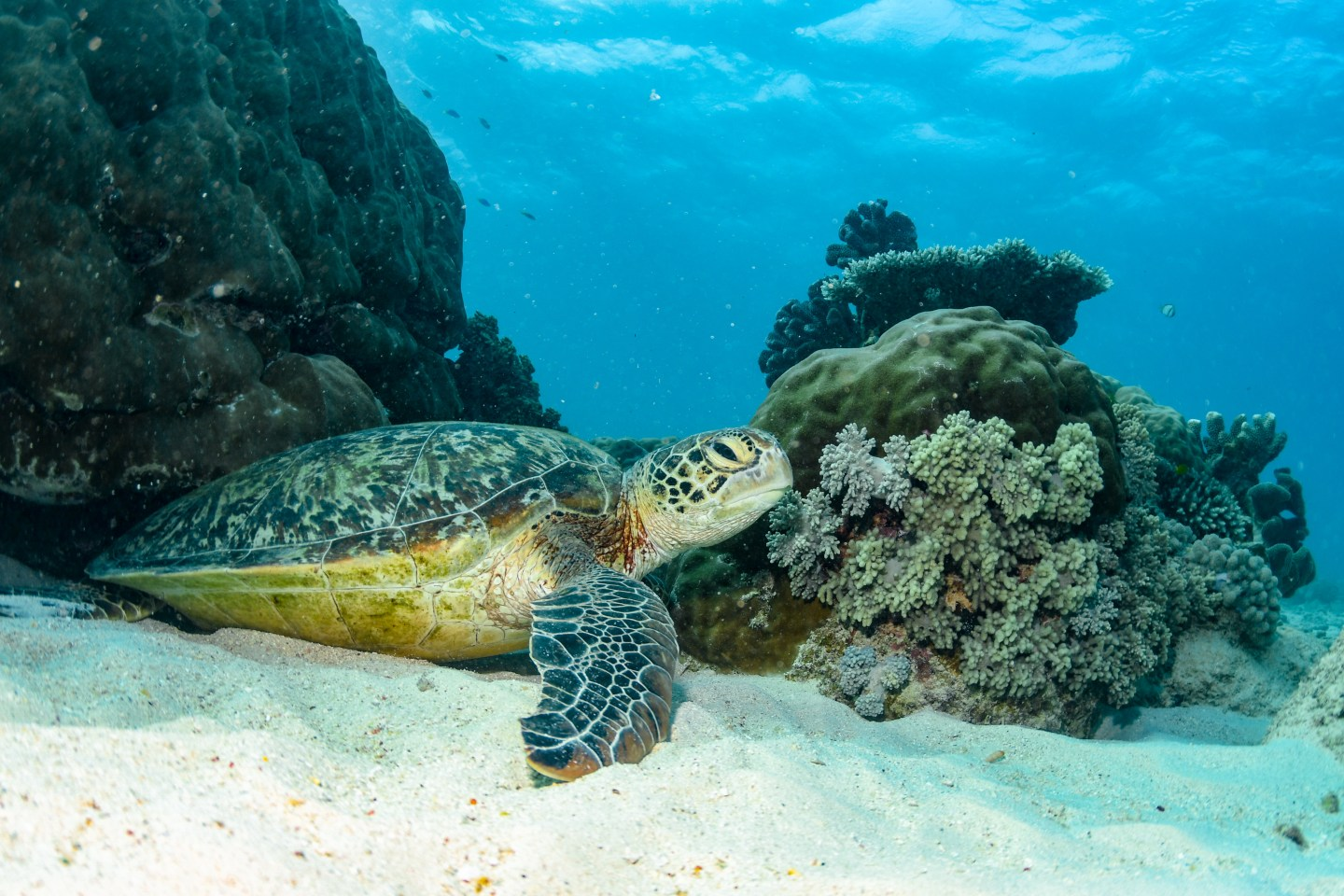 Turtle at Great Barrier Reef